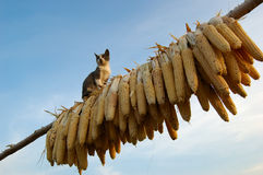 Cat. A cute cat swiftly climbed onto the rack, which was used for drying corn, cautiously looking into the distance in alert royalty free stock images