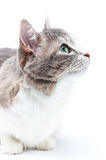Cat. Close-up portrait of brown-grey cat on white Royalty Free Stock Photo