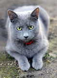The Cat. Kitty in the garden with red collar Stock Photography