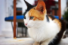 Cat. A cute cat, taken on the island santorini Stock Photography