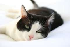 Cat. A black and white male cat on bed royalty free stock photo