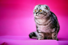 Cat. A cat in front of the pink background Stock Images