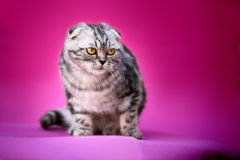 Cat. A curios cat with pink background royalty free stock images