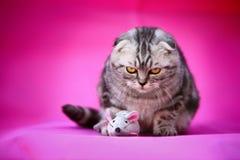 Cat. A curios cat with a rat stock images