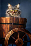 Cat. A cat focus at the camera royalty free stock photography