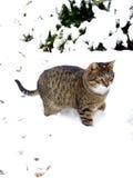 Cat. Walking thru the snow royalty free stock image