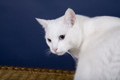 Cat. White Cat Royalty Free Stock Images