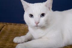 Cat. White Cat Stock Photo