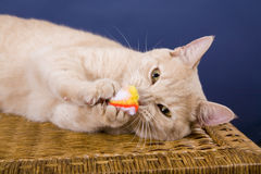 Cat. Yellow Cat Royalty Free Stock Images