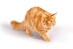 Cat1 Fotografia Stock Libera da Diritti