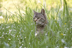 Cat. Grey cat on the grass Stock Images