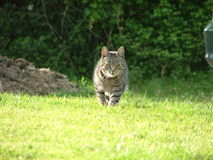 Cat. A cat walking on green grass royalty free stock image
