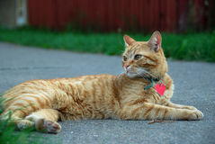 A Cat. Lie on the road looking back Stock Photo