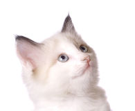 Cat. White cat studio shot isolate on white Royalty Free Stock Image