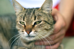 Cat. The hand of the person holds a beautiful cat Royalty Free Stock Images