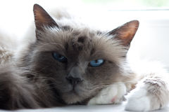 Cat. Portrait of a beautiful dark grey cat with blue eyes Stock Photography
