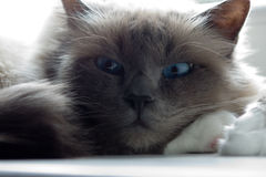Cat. Portrait of a beautiful dark grey cat with blue eyes Royalty Free Stock Images