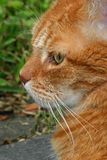Cat. Ginger tom cat in profile Stock Photos