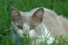 Cat. Image taken of a cat lying down in grass Stock Image
