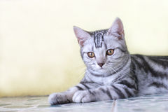 Cat. The cute cat . shoot it in the pets shop Royalty Free Stock Photos