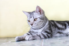 Cat. The cute cat . shoot it in the pets shop Royalty Free Stock Image