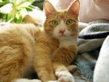 Cat. Pet orange green eyes Stock Images
