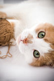 Cat. Playing with wool ball Royalty Free Stock Image