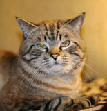 Cat. Serious cat royalty free stock images