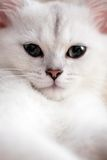 Cat. White cat face portrait, close-up Royalty Free Stock Photography