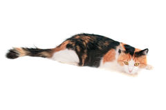 Cat. Domestic cat on a white background Stock Photo