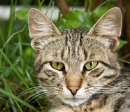 Cat. Striped cat close-up portrait Royalty Free Stock Image