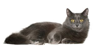 Cat. Grey cat on a white background Royalty Free Stock Image