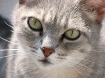 Cat. Cute look of a gray cat waiting Royalty Free Stock Photography
