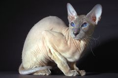 Cat. Sphynx cat sitting on a dark background royalty free stock photos