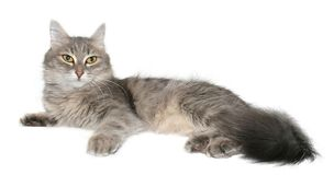 Cat. Grey cat on a white background Stock Images