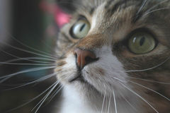 Cat. Nose of a cat Royalty Free Stock Image