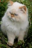 Cat. Persian cat walking in nature Royalty Free Stock Photos