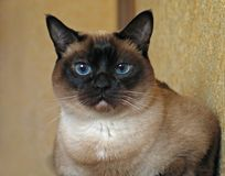The cat. Siamese cat  relaxing Royalty Free Stock Photos