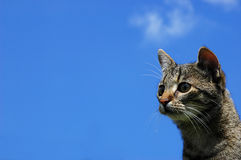 Cat. Photo of a cat in nature...with blue sky as background royalty free stock images