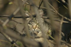 Cat. A hunting cat in the ambush Royalty Free Stock Images