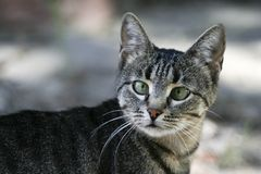 Cat. The cat (Felis catus), also known as the domestic cat or house cat to distinguish it from other felines Stock Photography