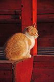 CAT. A beautiful brown and white cat enjoying the sunset Royalty Free Stock Image