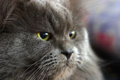 Cat. The Siberian cat. A portrait close up Royalty Free Stock Photography