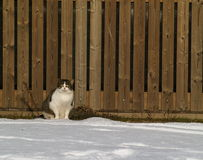 Cat. Frontal image of a white grey brown red cat, sitting in the snow with a wooden fence as background Royalty Free Stock Photo