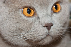 Cat. Of British breed close-up Stock Images