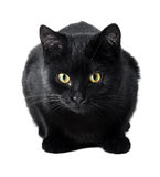 Cat. A black cat isolated on a white background Royalty Free Stock Photo