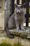 Cat. A picture of a cat Royalty Free Stock Photo