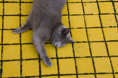 Cat. Picture of a grey cat Stock Image