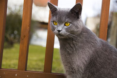 Cat. Picture of a grey cat Royalty Free Stock Photos