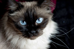 Cat. With blue eyes portrait Royalty Free Stock Photo